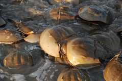 Horseshoe crabs annual mating ritual. Horseshoe crabs line the coasts of Delaware and New Jersey along the Delaware Bay each year in the Spring. They come ashore stock image