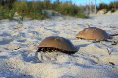 Horseshoe crabs ashore on beige silica sand beach. Coastal Falmouth Massachusetts yields beaches with windblown grasses and horseshoe crab carapaces.  The dead Stock Images