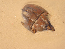 Horseshoe crabs. Horseshoe crab in the sand Royalty Free Stock Photography
