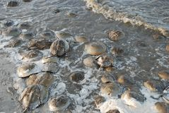 Horseshoe Crabs w in sperm filled water on the coastline of the Delaware Bay. Stock Photo