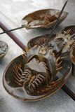 Horseshoe crabs Royalty Free Stock Photography