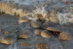Horseshoe crabs in incoming tidal waters along Delaware Bay. Horseshoe crabs line the coasts of Delaware and New Jersey along the Delaware Bay each year in the royalty free stock image