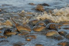 Horseshoe crabs in tidal waters along Delaware Bay. Horseshoe crabs line the coasts of Delaware and New Jersey along the Delaware Bay each year in the Spring stock photos