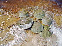 Horseshoe crabs mating royalty free stock image