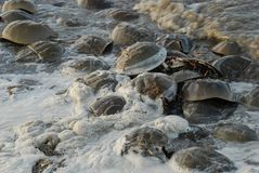 Horseshoe Crabs spawning in sperm filled water on the coastline of the Delaware Bay. Stock Image