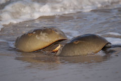 Horseshoe Crabs in the Surf Royalty Free Stock Photos