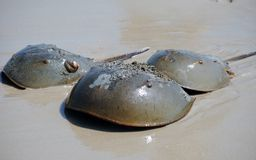 Horseshoe crabs Royalty Free Stock Photography