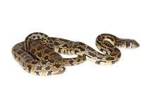 Horseshoe snake Royalty Free Stock Image
