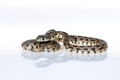 Horseshoe snake Royalty Free Stock Photo