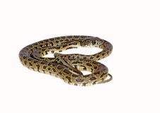Horseshoe snake Royalty Free Stock Photos