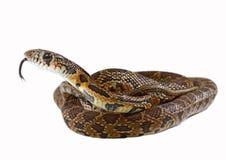 Horseshoe snake Royalty Free Stock Photography