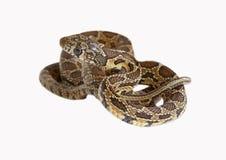 Horseshoe snake Royalty Free Stock Images