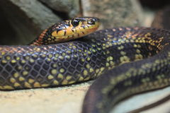 Horseshoe whip snake. The horseshoe whip snake (hemorrhois hippocrepis Stock Photography
