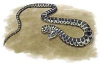 Horseshoe whip snake Stock Photography