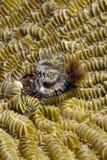 Horseshoe worm Royalty Free Stock Image