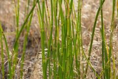 Horsetail или laevigatum рода сосудистых растений детали стержня Snakegrass Стоковые Изображения