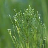 horsetail поля росы Стоковые Фотографии RF