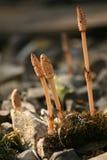 horsetail поля Стоковое Фото