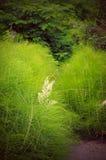 horsetail рощи Стоковая Фотография