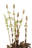 Horsetail Stock Images