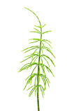 Horsetail Stock Photo