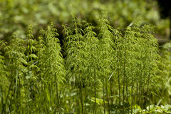Horsetail. Cluster young plant horsetail on clearing in forest Royalty Free Stock Images