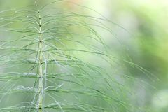 Horsetail Foto de Stock