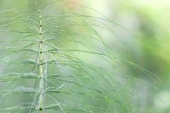 Horsetail Arkivfoto