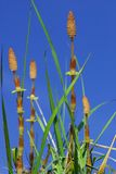 Horsetail Stock Photography