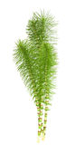 horsetail Obraz Royalty Free