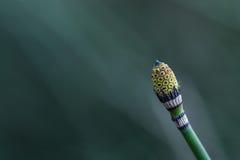 horsetail Стоковые Изображения