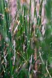horsetail Стоковые Фото