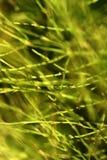 Horsetail background Stock Photo
