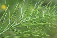 Horsetail bij dichte vergroting Kleine boomstam en smalle groene naalden royalty-vrije stock afbeelding