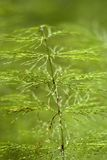 Horsetail  close-up, Stock Photography