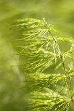 Horsetail  close-up,(Equisetum sylvaticum) Stock Image