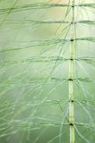 Horsetail Royalty Free Stock Image