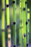 Horsetail closeup Royalty Free Stock Photo