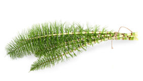 Horsetail Royalty Free Stock Photography