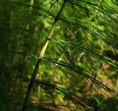 Horsetail. Detail of green wild horsetail in the shiny forest Royalty Free Stock Photo