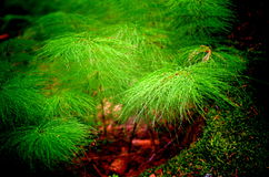 Horsetail. Detail of lhorseteil in the forest royalty free stock photo