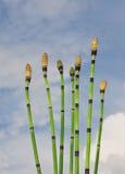 Horsetail (Equisetum) Stock Photo