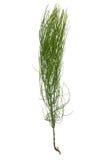 Horsetail ( Equisetum ) Stock Image