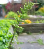 Horsetail Equisetum arvense Młoda roślina fotografia stock