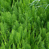 Horsetail Equisetum. Bright green herbaceous background Royalty Free Stock Photography