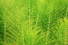 Horsetail (Equisetum) healing plant Royalty Free Stock Photo