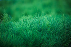 Horsetail (Equisetum) healing plant Stock Photos