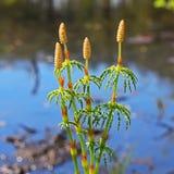 Horsetail - Equisetumsylvaticum Fotografering för Bildbyråer