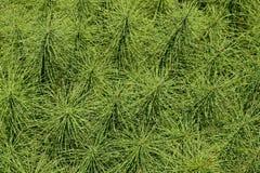 Horsetail ferns Stock Image
