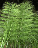 Horsetail herb Royalty Free Stock Images